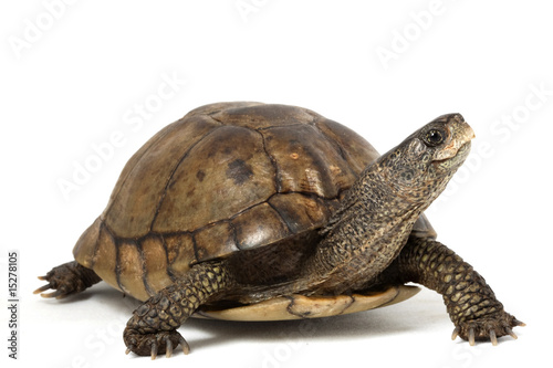 Coahuilan Box Turtle - 15278105