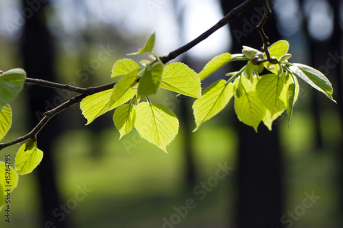 Fresh green leaves glowing in sunlight