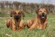 deux rhodesian ridgeback allongés - chiens couchés