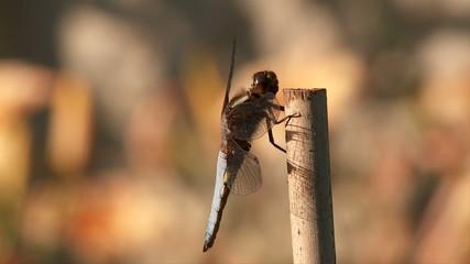 envol de libellule le soir au ralenti