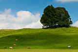 Landscape of grassland with trees, cows and hill poster