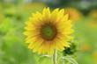 Fototapeten,sonnenblume,blume,natur,wohnen