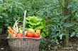 Cueillette de légumes frais au potager.