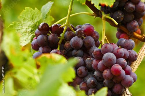 Blaue Weintrauben, Weinlese