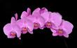 phaleanopsis pink orchid