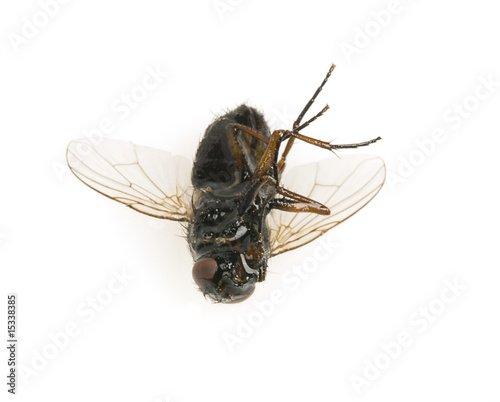 dead fly killed by insecticide