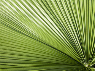 Round-Leaf Livistona palm close-up