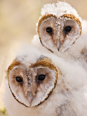 baby owl chick