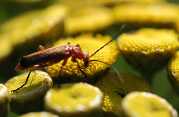 Cantharis fusca
