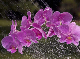 pink orchid and rain