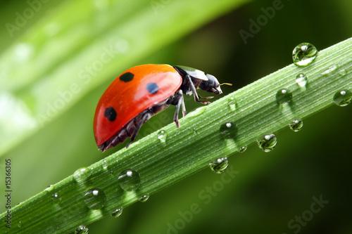 Ladybug running along the green wet grass.