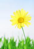 yellow daisy in grass field - swallow DOF poster