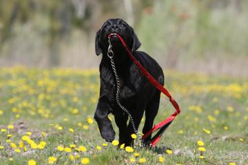 jeune labrador retriever noir portant fièrement sa laisse
