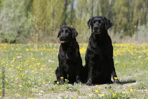 labrador noir adulte et jeune labrador assis côte à côte