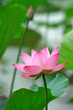 blooming lotus flower over green background.