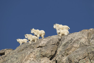 Mountain Goat Gang