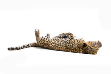 Young leopardus in studio