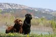 deux labradors retriever noir et chocolat devant la montagne