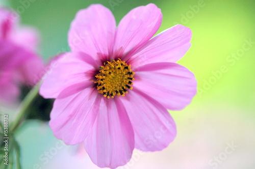 Blume - 15388782