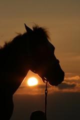 Pony im Sonnenuntergang