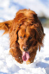 Golden retriever paseando por  la nieve
