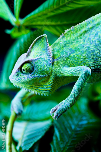 Staande foto Kameleon Green chameleon