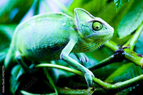 Foto op Plexiglas Kameleon Chameleon on the leaf