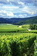 Vineyard and small village in Alsace - France