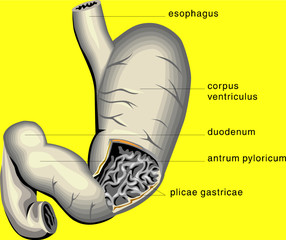 Stomach medical diagram