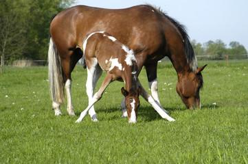 Stute mit Fohlen, Pferd