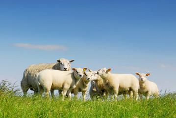 family gathering of sheep