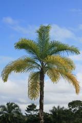 Palmeira de palmito (pupunheira), Bahia, Brasil