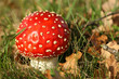 Autumn scene: toadstool in the grass with brown leafs