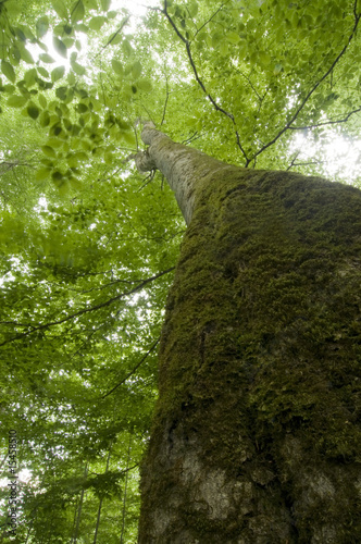 Big beech tree