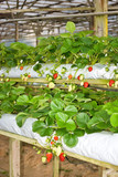 Strawberry plant - hydo planting style