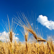 Getreideähren im Sommer 2