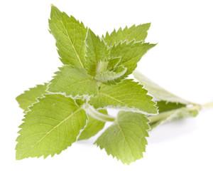 Fresh leaves of mint
