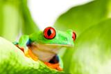 Fototapete Leaf - Agalychnis callidryas - Reptilien / Amphibien