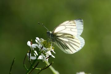 Piéride du navet (Pieris napi) sur une fleur indéterminée