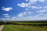 nice fluffy clouds over vineyard poster