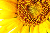 stamens in the form of heart on a sunflower - Fine Art prints