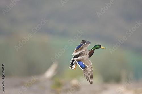 Canard colvert en vol