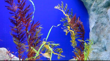 Leafy and weedy seadragons