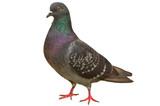 Fototapety Pigeon