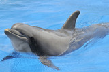 Fototapety Gros plan d'un grand dauphin dans l'eau bleue