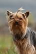 portrait d'un terrier du yorshire de face dans la nature - chic