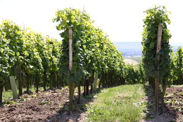 Weinanbau der Hessischen Staatsweingüter