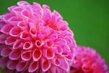 Fototapeta Makro Blütenblätter einer Ball - Dahlie