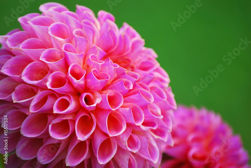 Makro Blütenblätter einer Ball - Dahlie - 15517534