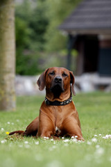 Proud Rhodesian Ridgeback lying in the grass